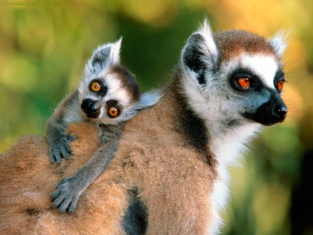 Animals Families_Ring-tailed Lemurs