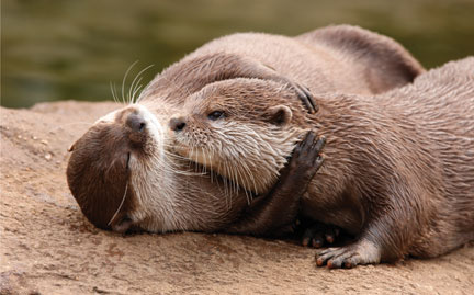 large-River-Otter-photo