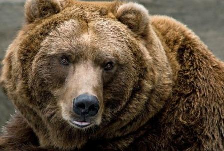 oso grizlis