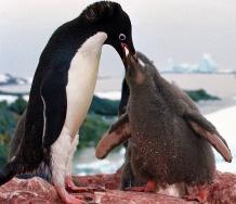 pinguino alimentando a su cria