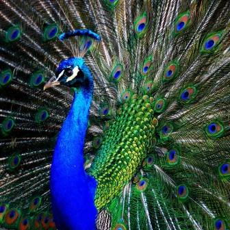 Animales y animales pavo real datos interesantes para - Fotos de un pavo real ...